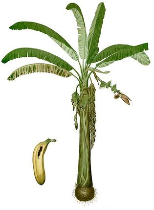Musa paradisiaca Blanco1.88-cropped.jpg