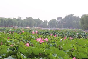 Lotuses at the Beihai Park 08 (1).JPG