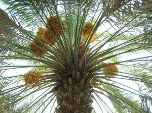 Date palm with fruits.jpg