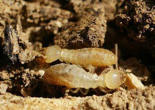 Reticulitermes banyulensis crop.jpg