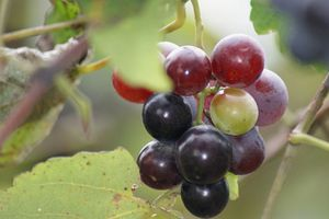 Grape Plant and grapes.jpg