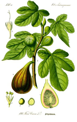 Illustration Ficus carica0 clean (1).jpg