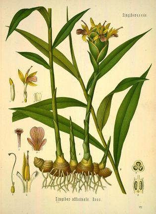 Köhler's Medizinal-Pflanzen in naturgetreuen Abbildungen mit kurz erläuterndem Texte (Plate 172) (8232814894).jpg