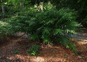 Zingiber gracilis.jpg