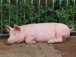 Cochon sewen.jpg