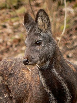 Moschus moschiferus in Plzen zoo (12.02.2011).jpg