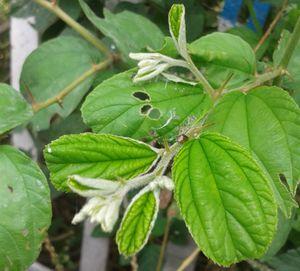 (Ziziphus jujuba) Foliage at Ammuguda 01.jpg