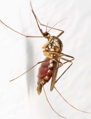 Mosquito (not sure which one), Woodbridge, Virginia.jpg