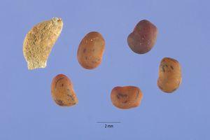 Alhagi maurorum seeds.jpg